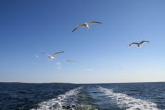 Seagulls flying in the air Royalty Free Stock Photography