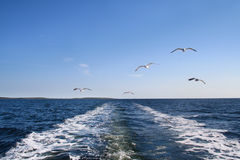 Seagulls flying in the air Royalty Free Stock Images