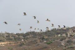 Seagulls flying in the air, Cabo Ledo, Luanda, Angola. Seagulls flying in the air, with sky as background, on the beach of surfers, Cabo Ledo, Luanda, Angola stock image