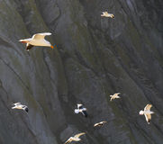 Seagulls. Flying around Morro Rock Royalty Free Stock Images