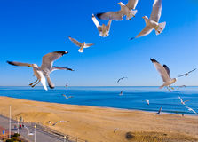 Seagulls Flying at Beach. Seagulls flying in the air at Virginia Beach just off the oceanfront against a bright blue sky of the morning sun stock photo