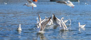 Seagulls Flying at Beach.Flying seagull eating a sandwich,Seagulls diving for food. A typical seaside summer image. royalty free stock photos