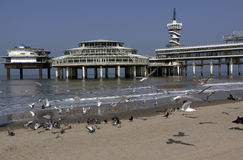 Seagulls flying at the beach of scheveningen Stock Photography