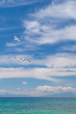 Seagulls flying on beautiful blue sky and clouds Stock Photos