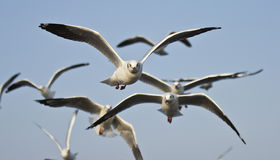 Seagulls are flying Royalty Free Stock Photography