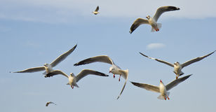 Seagulls are flying Royalty Free Stock Photo