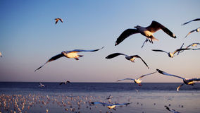 Seagulls, flying birds Royalty Free Stock Photo