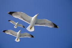 Seagulls flying in blue clear sky and bright sun Stock Images