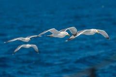 Seagulls flying Stock Photos