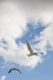 Seagulls flying in the blue sky Royalty Free Stock Images