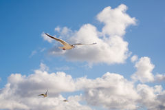 Seagulls flying in blue sky Stock Photos