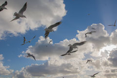 Seagulls flying in blue sky Stock Photography