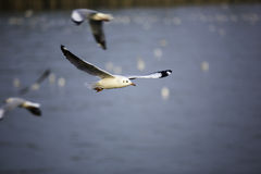 Seagulls are flying with blue sky. Background royalty free stock image