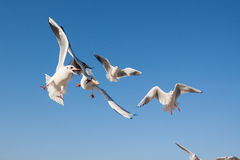 Seagulls flying in the blue sky Royalty Free Stock Photo