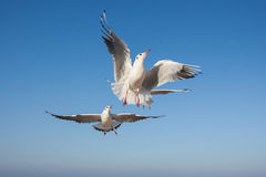 Seagulls flying in the blue sky Stock Image
