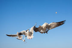 Seagulls flying in the blue sky Stock Photo