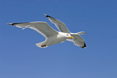 Seagulls flying in blue sky Royalty Free Stock Image