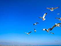 Seagulls flying on blue sky above lake. Seagull flocks are flying on the blue sky above peaceful lake in the sunny day Royalty Free Stock Image