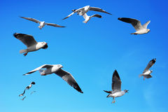 Seagulls flying in blue sky backgrounds Royalty Free Stock Photos