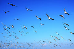 Seagulls flying in blue sky backgrounds Royalty Free Stock Image