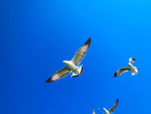 Seagulls flying on blue sky eating food. Seagulls are flying on the blue sky in the sunny day eating food Royalty Free Stock Image