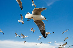 Seagulls flying in blue sky Royalty Free Stock Photo