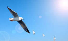 Seagulls flying in blue sky Royalty Free Stock Photography
