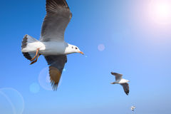 Seagulls flying in blue sky Royalty Free Stock Images