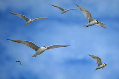 Seagulls are flying on blue sky Stock Photography