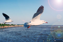 Seagulls flying in blue sky Stock Images