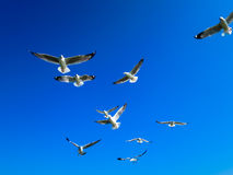Seagulls flying on blue sky. Seagull flocks are flying on the blue sky Royalty Free Stock Image