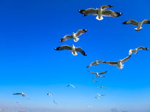 Seagulls flying on blue sky. Seagull flocks are flying on the blue sky above peaceful lake in the sunny day Stock Photo