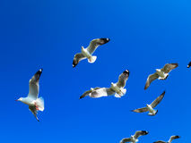Seagulls flying on blue sky. Seagull flocks are flying on the blue sky in the sunny day Royalty Free Stock Images