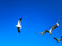 Seagulls flying on blue sky. Seagull flocks are flying on the blue sky in the sunny day Royalty Free Stock Photo