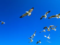 Seagulls flying on blue sky. Seagull flocks are flying on the blue sky in the sunny day Royalty Free Stock Photos