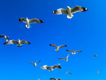 Seagulls flying on blue sky. Seagull flocks are flying on the blue sky in the sunny day Stock Photography
