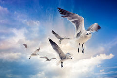 Seagulls Flying in a blue sky Royalty Free Stock Image
