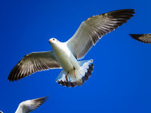 Seagulls flying on blue sky. Seagulls are flying on the blue sky in the sunny day Stock Photo