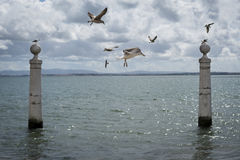 Seagulls flying in the Cais das Colunas in the Tagus River, Lisbon Royalty Free Stock Photo