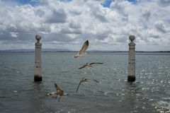 Seagulls flying in the Cais das Colunas in the Tagus River, Lisbon Royalty Free Stock Photography