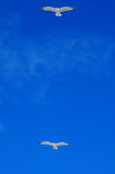 Seagulls flying in clear blue sky Stock Photos