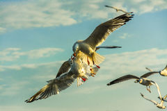 Seagulls flying and  feeding Royalty Free Stock Photos