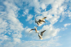Seagulls flying and feeding Stock Images