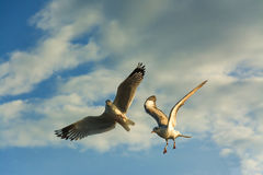 Seagulls flying and feeding Royalty Free Stock Image