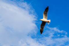 Seagulls flying 32. Gulls at sea, many lives Royalty Free Stock Images