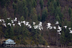 Seagulls Flying In A Line. Royalty Free Stock Image