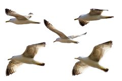 Seagulls flying isolated on white background royalty free stock images