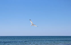 Seagulls flying near beach Royalty Free Stock Image