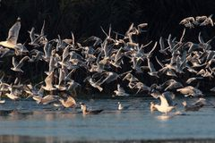 Seagulls flying on the Nebunu lake at sunset Stock Photos
