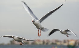 Seagulls flying with open wings over blue sky. Stock Photo